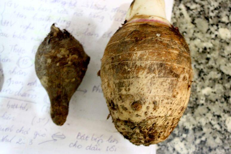 タロイモと里芋の大きさ比較画像
