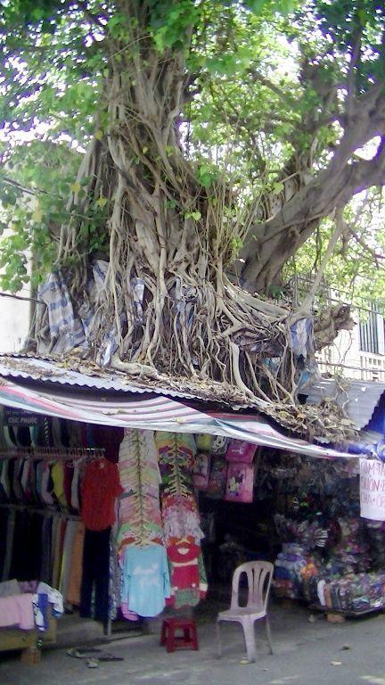 旧市場の巨木